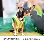 chihuahua puppy dressed up in a ...   Shutterstock . vector #1137843617