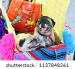 pug puppy dressed up in a...   Shutterstock . vector #1137848261