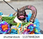 pug puppy dressed up in a...   Shutterstock . vector #1137848264