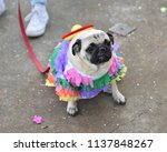 pug puppy dressed up in a...   Shutterstock . vector #1137848267
