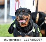 rottweiler dog out for a walk   Shutterstock . vector #1137853097