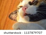 cat showing canine teeth with...   Shutterstock . vector #1137879707