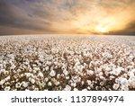 cotton field in west texas | Shutterstock . vector #1137894974