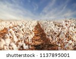 cotton field in west texas | Shutterstock . vector #1137895001