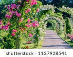 pink and white roses arch in... | Shutterstock . vector #1137928541