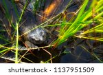 closeup of toad among reeds in... | Shutterstock . vector #1137951509