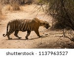 tiger cub crossing the road at... | Shutterstock . vector #1137963527