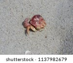 a dead crab at the beach  | Shutterstock . vector #1137982679