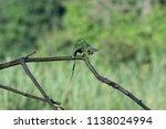 chameleon furcifer pardalis... | Shutterstock . vector #1138024994