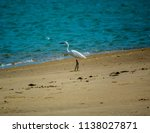 the great egret  also known as... | Shutterstock . vector #1138027871