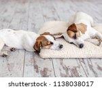 dogs sleeping at floor. pet on... | Shutterstock . vector #1138038017