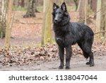 portrait of belgian shepherd...   Shutterstock . vector #1138047044