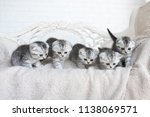 Stock photo american shorthair kittens play on the grey couch 1138069571