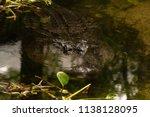 massive alligator is digesting... | Shutterstock . vector #1138128095