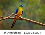 turquoise parrot  neophema...   Shutterstock . vector #1138251074