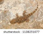 tarentola mauritanica  moorish...   Shutterstock . vector #1138251077