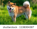 shiba inu  japanese national dog | Shutterstock . vector #1138304387