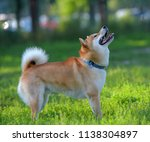 a dog playing in the field. ... | Shutterstock . vector #1138304897