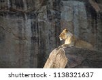 Lioness Sitting On A Rock...