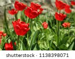 beautiful blossoming tulips on... | Shutterstock . vector #1138398071