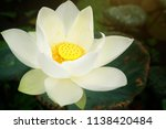 beautiful white lotus flower... | Shutterstock . vector #1138420484