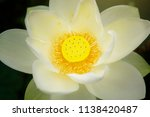 beautiful white lotus flower... | Shutterstock . vector #1138420487