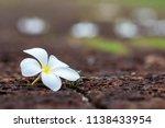 plumeria on stone floor.... | Shutterstock . vector #1138433954