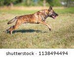 a hybrid of a belgian and a... | Shutterstock . vector #1138494494