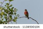 male common linnet  linaria... | Shutterstock . vector #1138500104