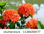 ixora flower blossom in a... | Shutterstock . vector #1138648577