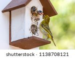 saffron finch photographed  in... | Shutterstock . vector #1138708121