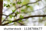 forest songbird on a branch.... | Shutterstock . vector #1138788677