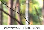 forest songbird on a branch.... | Shutterstock . vector #1138788701