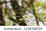 forest songbird on a branch.... | Shutterstock . vector #1138788704