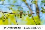 forest songbird on a branch.... | Shutterstock . vector #1138788707