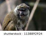 Allen's Swamp Monkey Close Up