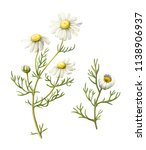 Chamomile Flowers And Leaves...