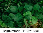 juicy spring green leaves in... | Shutterstock . vector #1138918301