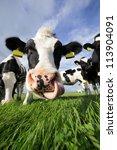 Holstein Cow In A Field ...