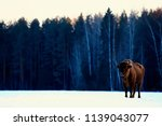 Aurochs bison in nature / winter season, bison in a snowy field, a large bull bufalo - stock photo