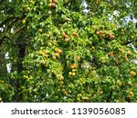 fresh pears hanging on the... | Shutterstock . vector #1139056085