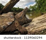 Juvenile Alligator Snapping...