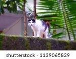 cat animal white                | Shutterstock . vector #1139065829
