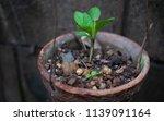 vernonia amygdalina growing in... | Shutterstock . vector #1139091164