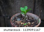 vernonia amygdalina growing in... | Shutterstock . vector #1139091167