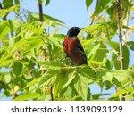an orchard oriole | Shutterstock . vector #1139093129