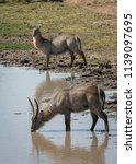 waterbuck pair drinking  | Shutterstock . vector #1139097695