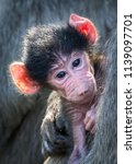 infant chacma baboon | Shutterstock . vector #1139097701