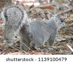 delmarva fox squirrel | Shutterstock . vector #1139100479