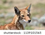 ethiopian wolf  canis simensis | Shutterstock . vector #1139101565